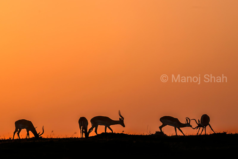 Male impalas play fighting and grazing at sunrise in Masai Mara,