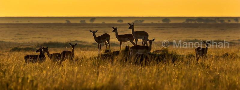 Female impalas in the Masai Mara savanna after sunrise.