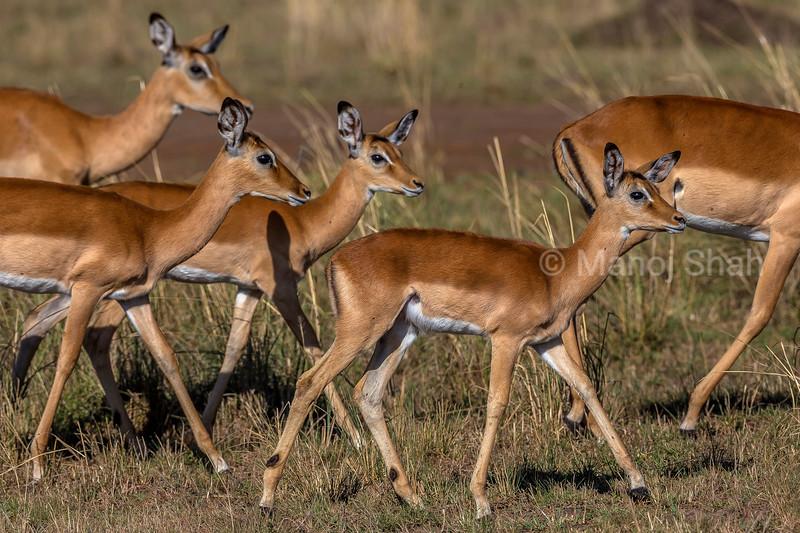 Herd of female impalas walking in Masai Mara.