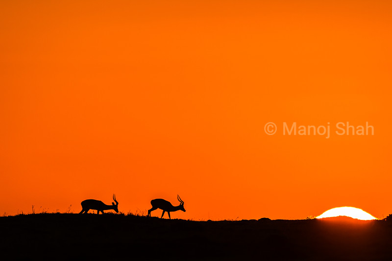 Male Impalas at sunrise in Masai Mara