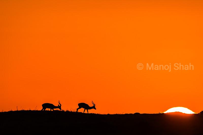 Male Impalas at sunrise in Masai Mara