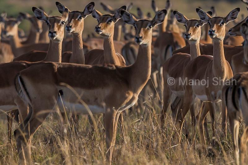 Impala females Watching a lioness afar