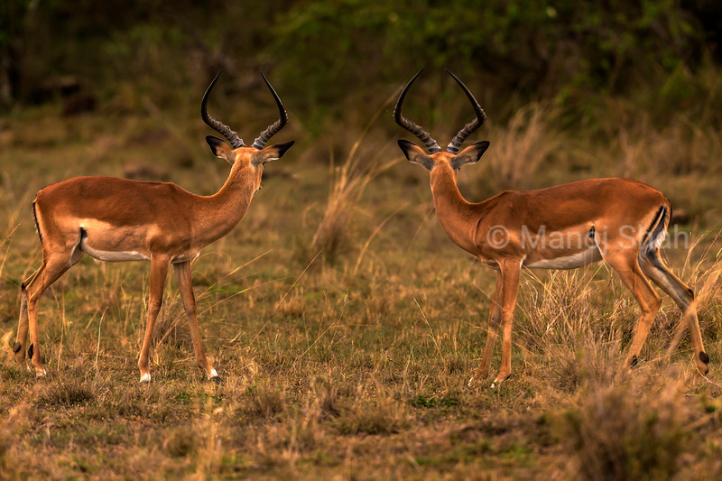 Male Impalas cautiosly looking out for predators