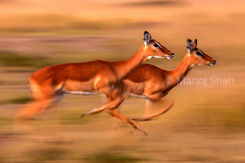female Impalas on the run in Masai Mara savanna.