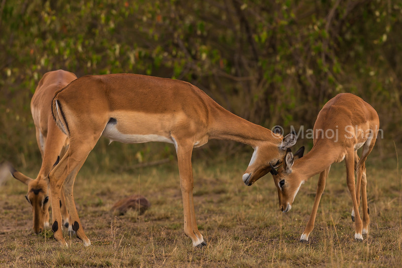 Female impala greeting baby