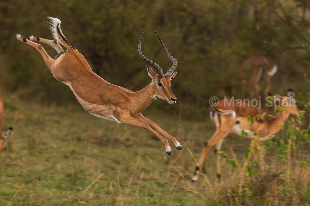 Male Impala running and jumping