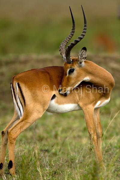 Male Impala grooming