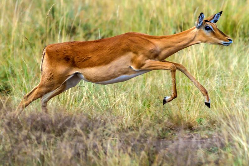 Female Impala on the run in Masai Mara.