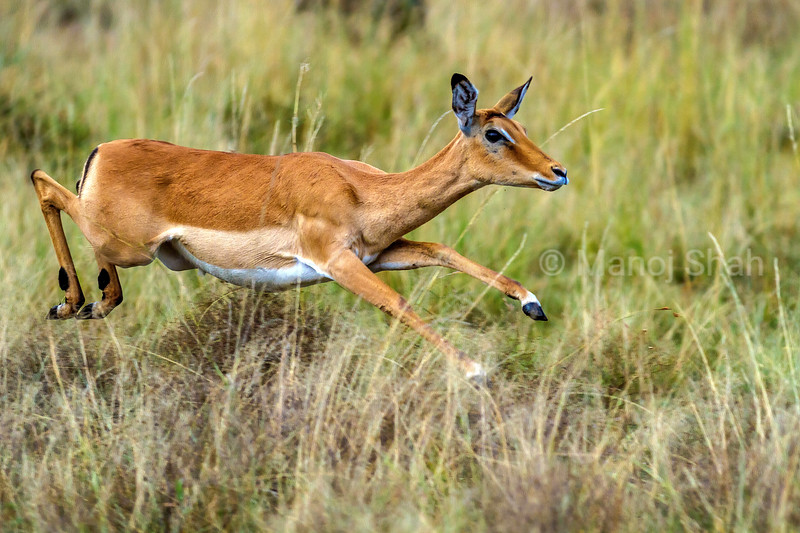 Female Impala on the run in Masai Mara.