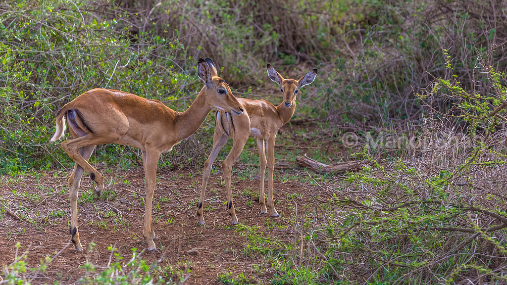 A baby impala watches mother scratch her hind legs in Amboseli National Park.