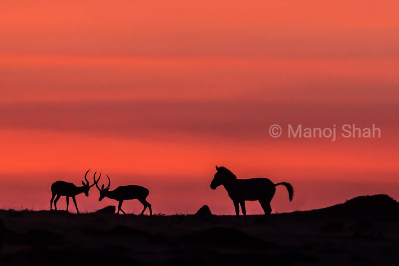 Zebra watching male impalas play fighting just before sunrise.