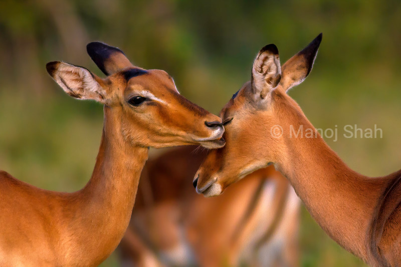 Female Impalas busy oral grooming  (a type of allogrooming) in Masai Mara.