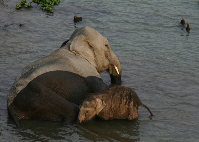 ASIAN ELEPHANTS - KAZIRANGA NATIONAL PARK