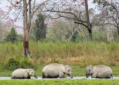 ASIAN ELEPHANTS - KAZIRANGA NATIONAL PARK