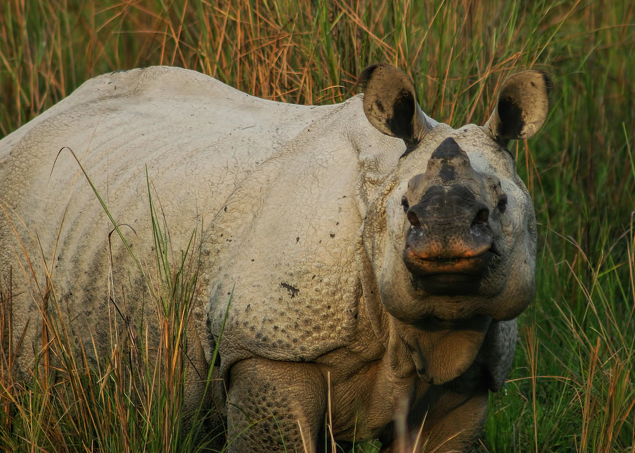 ONE HORNED RHINOCEROS - KAZIRANGA