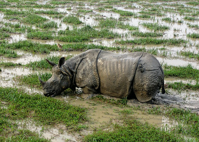 INDIAN RHINOCEROS - KAZIRANGA NATIONAL PARK