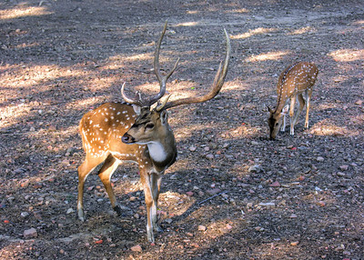 SPOTTED DEER - KANHA