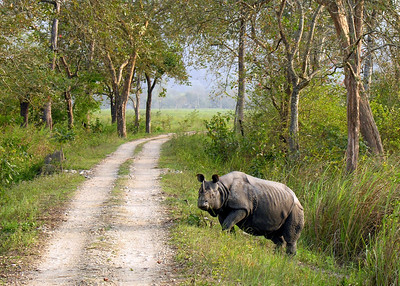 ONE HORNED RHINOCEROS - KAZIRANGA NATIONAL PARK