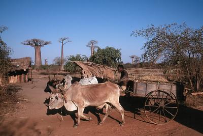 ZEBU CART - WESTERN MADAGASCAR