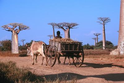 ALLEE DES BAOBABS - WESTERN MADAGASCAR