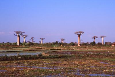 BAOBAB FOREST - WESTERN MADAGASCAR