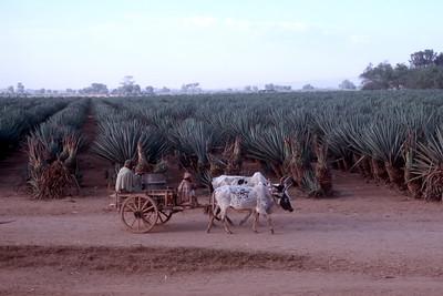 ZEBU CART - SOUTHERN MADAGASCAR