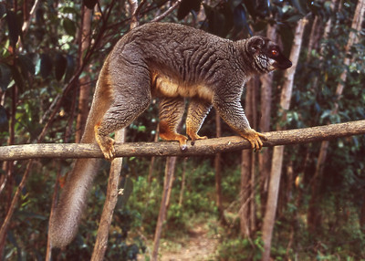 BROWN LEMUR - EASTERN MADAGASCAR
