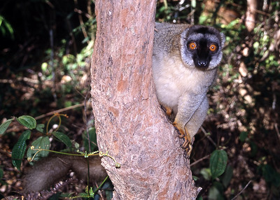 BROWN LEMUR - EASTERN MADAGASCAR
