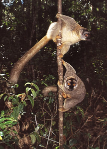 BROWN LEMURS - EASTERN MADAGASCAR