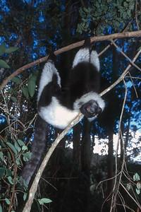 RUFFED LEMUR - EASTERN MADAGASCAR