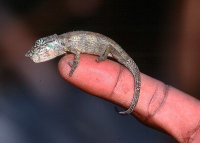 CHAMELEON - EASTERN MADAGASCAR