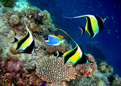 MOORISH IDOLS - MALDIVES