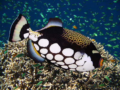 CLOWN TRIGGERFISH - MALDIVES
