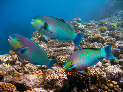 STEEPHEAD PARROTFISH - MALDIVES