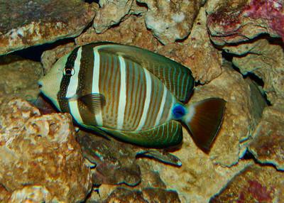 SAILFIN TANG - MALDIVES