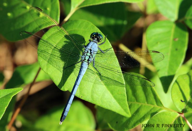 eastern pondhawk male alights on a leaf
