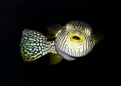 RETICULATED PUFFERFISH - SULAWESI