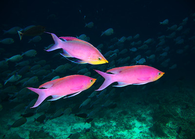 YELLOWSTRIPE ANTHIAS - SULAWESI