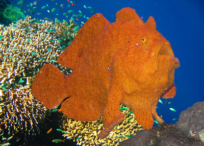 FROGFISH - INDONESIA