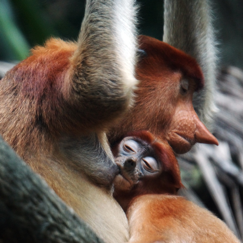 PROBOSCIS MONKEY WITH BABY - BORNEO
