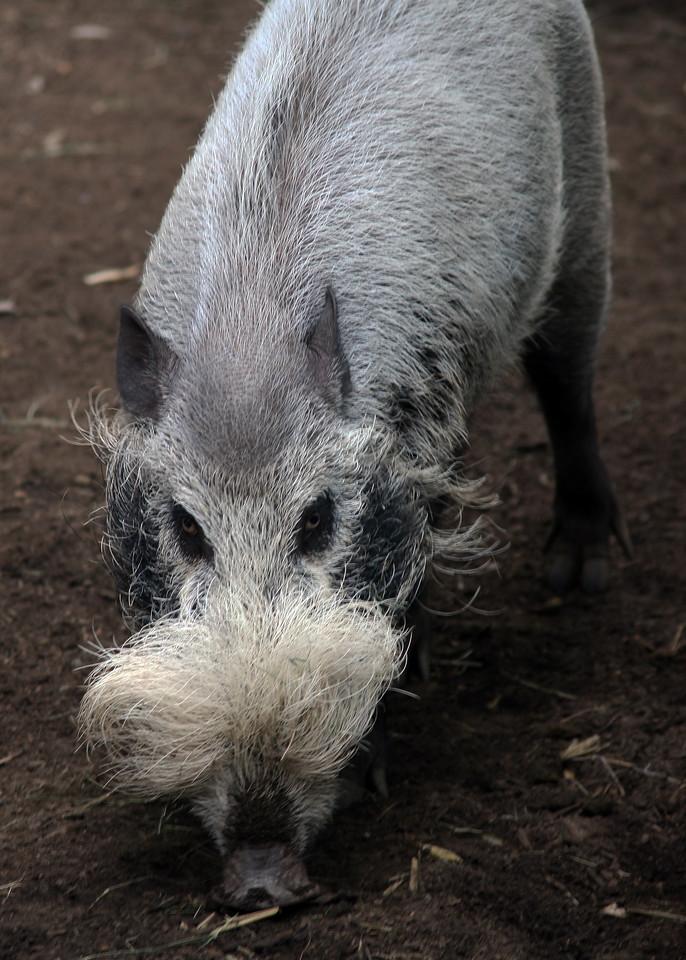 BEARDED PIG - BORNEO
