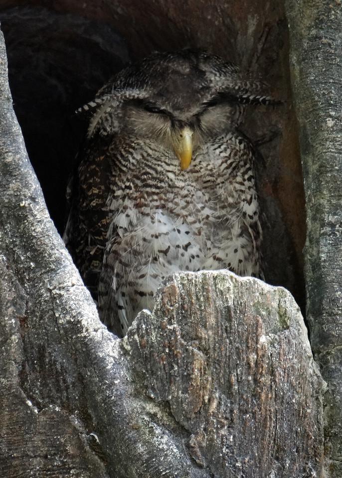 BUFFY FISH OWL - INDONESIA