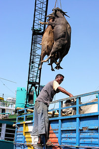 MOVING CATTLE - SURABAYA PORT