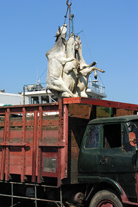 MOVING CATTLE - SURABAYA PORT