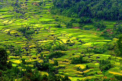 RICE TERRACES - TANA TORAJA