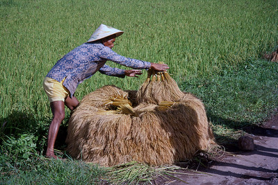 RICE HARVEST - CENTRAL SULAWESI