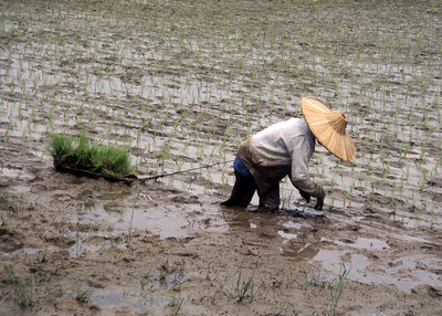 RICE PLANTING - WEST SUMATRA