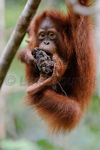 Orang Outang , Borneo,  © Luis Courtot