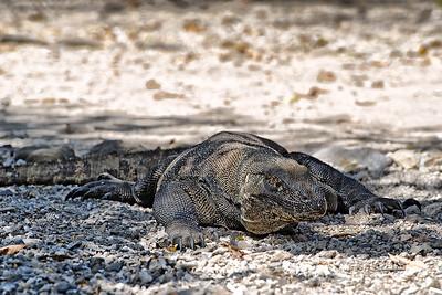 Komodo dragon,  © Luis Courtot