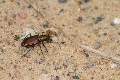 Cicindela scutellaris subspecies Lecontei Festive Tiger Beetle Sauk Prairie Recreation Area WI  IMG_0323